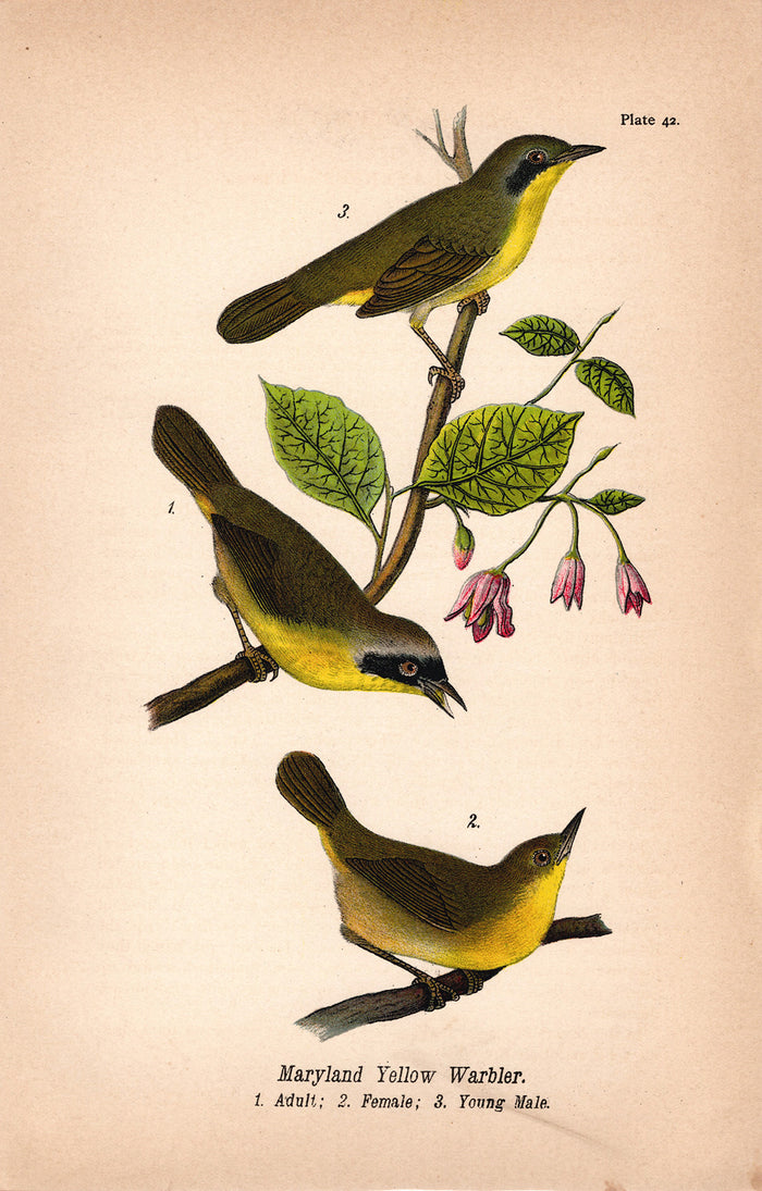 Maryland Yellow Warbler (1890)