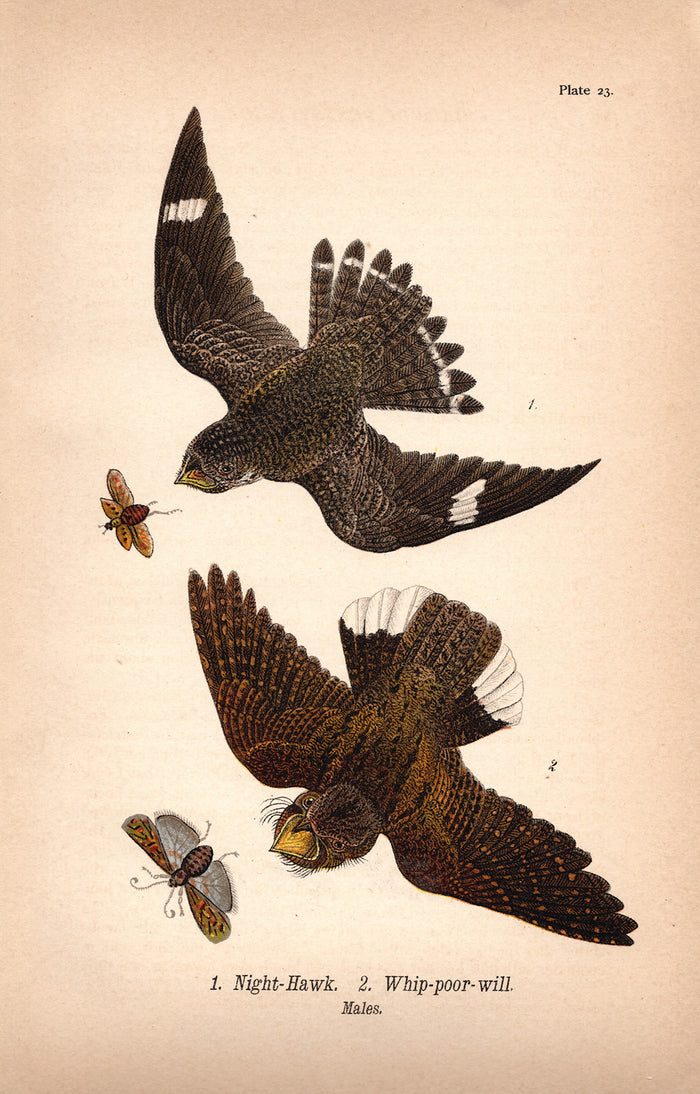Night Hawk and Whipporwill (1890)