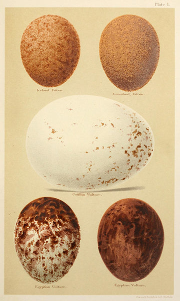 Plate 1 – Falcon and Vulture Eggs