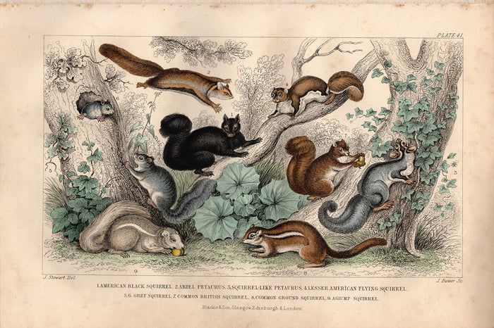 Plate 41 Squirrels (1870)