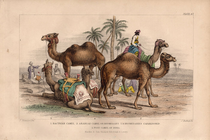 Plate 47 Camel (1870)