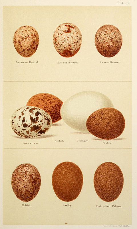 Plate 4 – Kestrel Eggs
