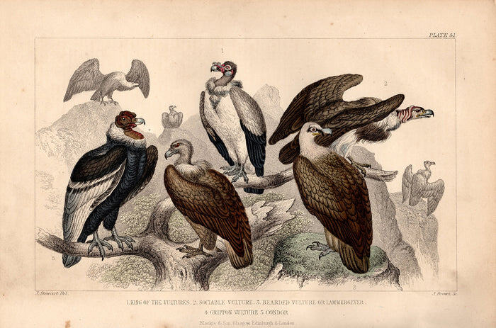 Plate 51 Vultures (1870)