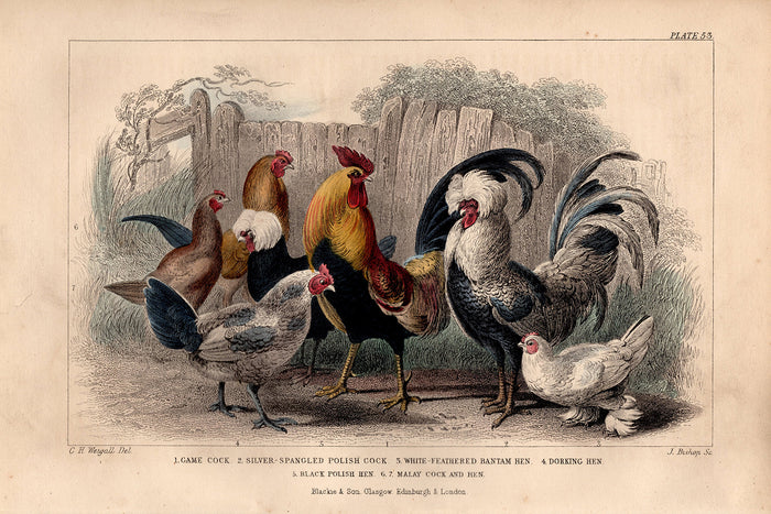 Plate 53 Chickens (1870)