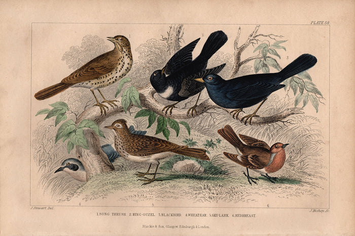 Plate 58 Thrush & Blackbird (1870)