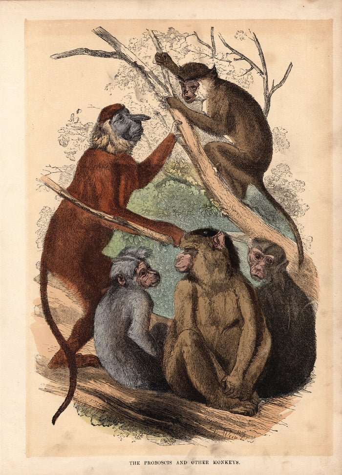 The Proboscis and The Other Monkeys (1880)