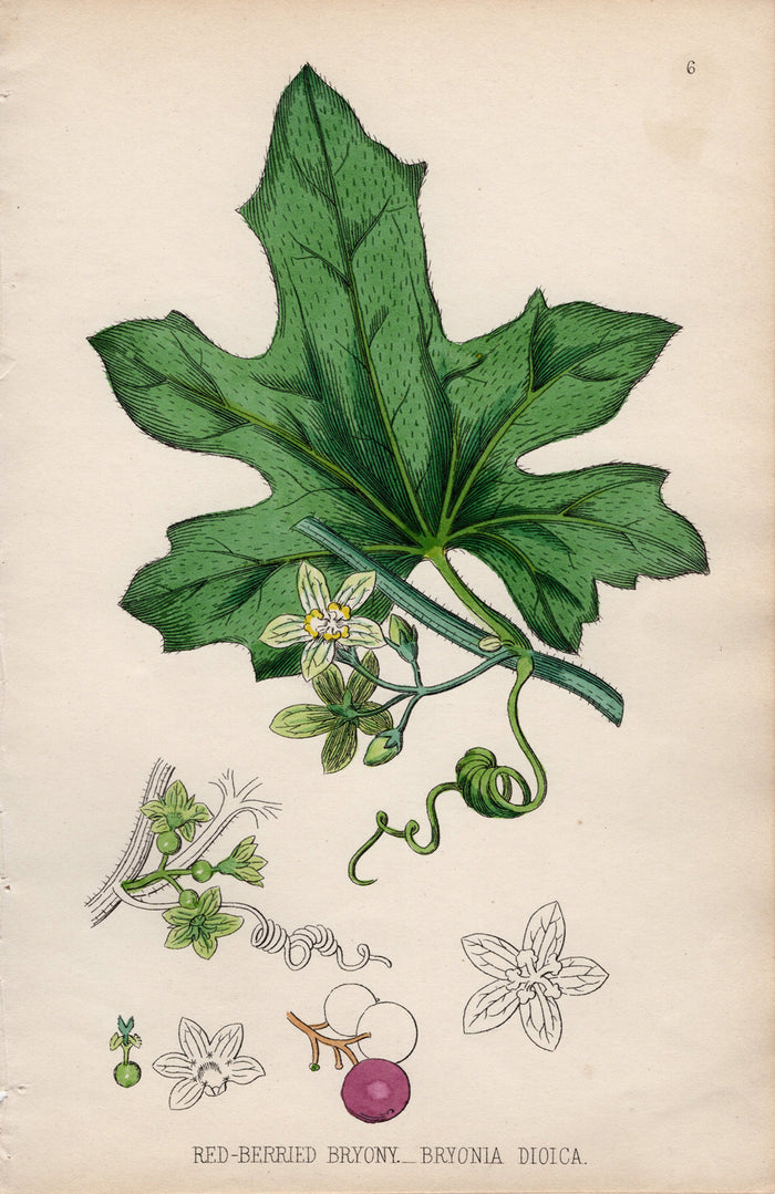 Red-Berried Bryony – 1861