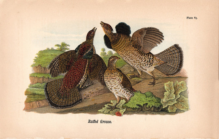 Ruffed Grouse (1890)