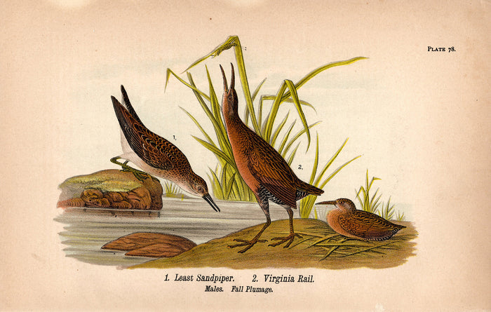Least Sandpiper, Virginia Rail (1890)