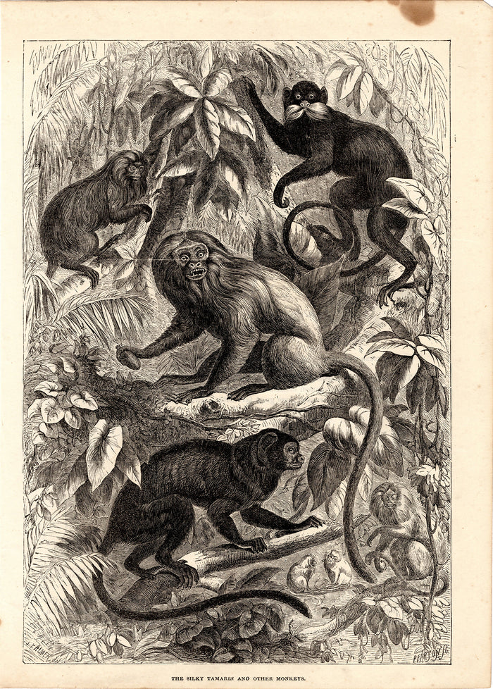 The Silky Tamarin and Other Monkeys (1880)