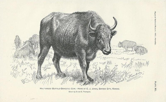 Plate XII - Half-Breed Cow (1887)
