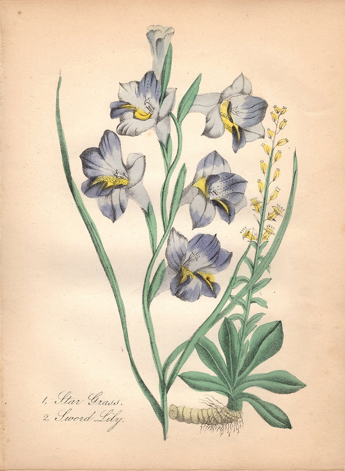 Star Grass and Sword Lily (1850)