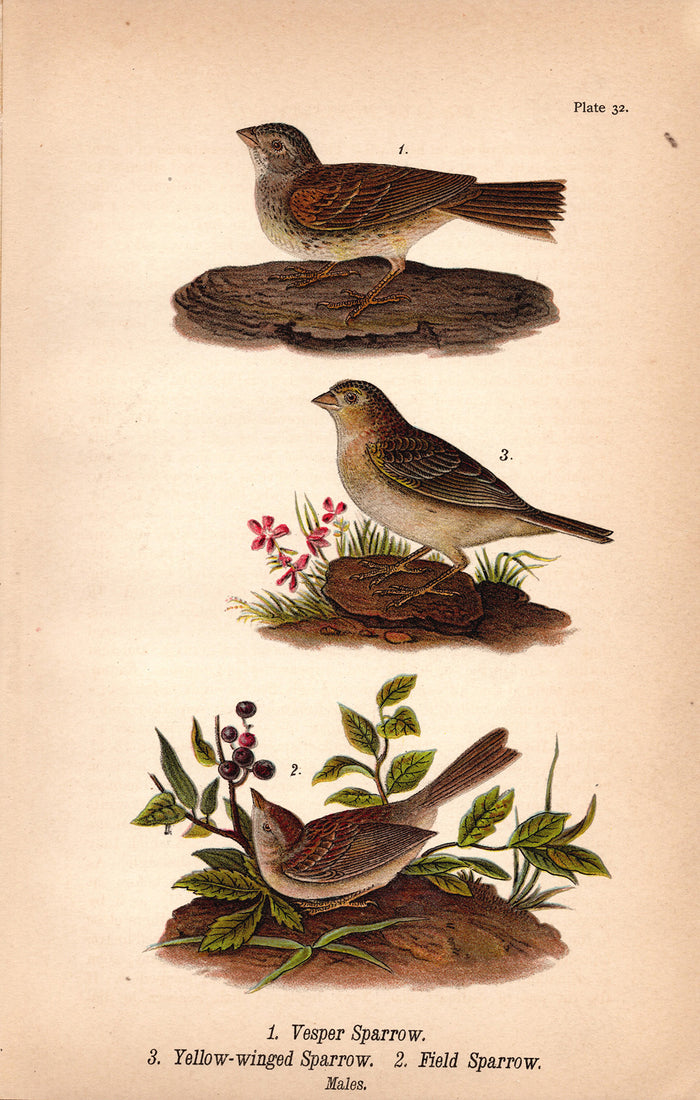 Vesper Sparrow, Yellow Winged Sparrow (1890)