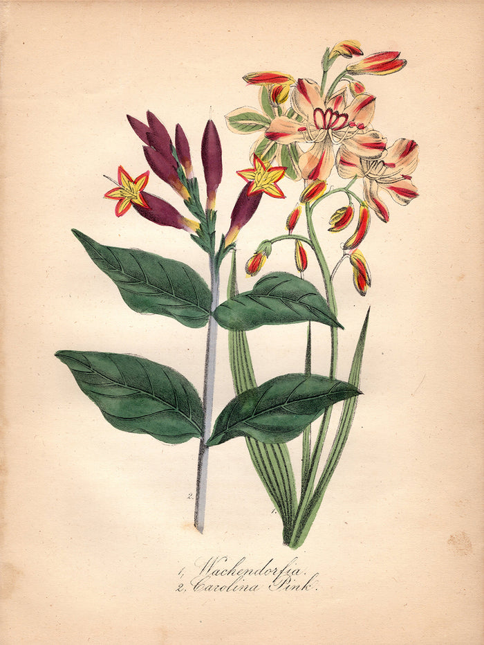 Wachendorfia and Carolina Pink (1850)