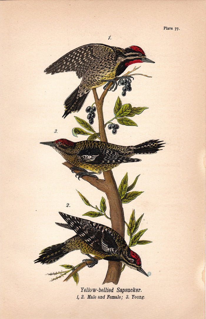 Yellowed Belly Sapsucker (1890)