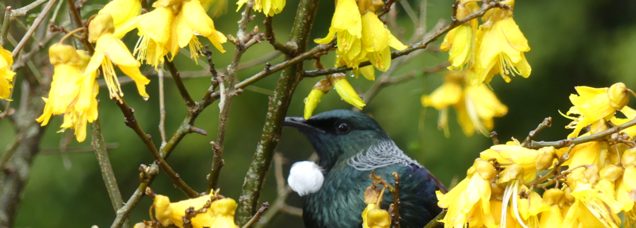 Tui sitting amongst yellow kowhai flowers.