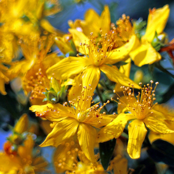 the cheery yellow flowers of st johns wort