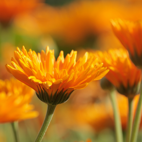 vibrant orange calendula flowers