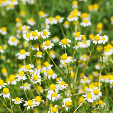 a yellow and white field of chamomile