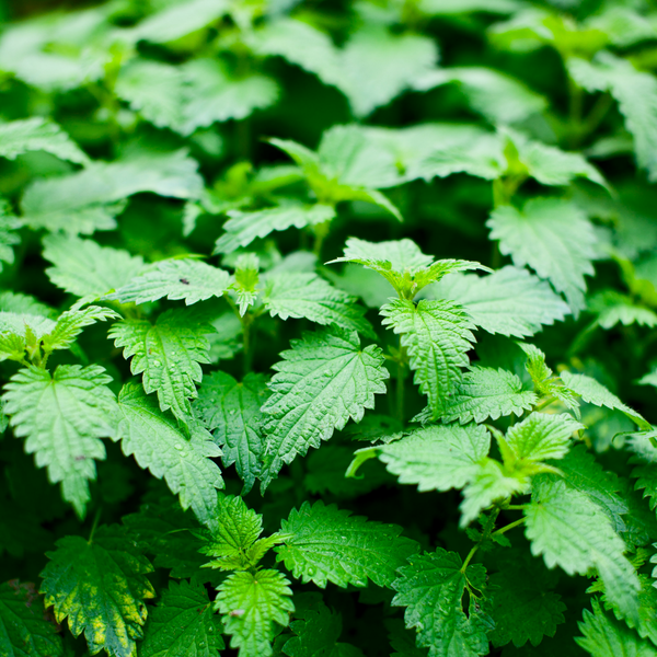 a stinging nettle plant with masses of leaves