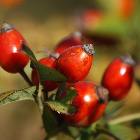 a branch of shiny red rose hips