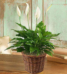 spathiphyllum-plant-for-sympathy_gofruitSmall