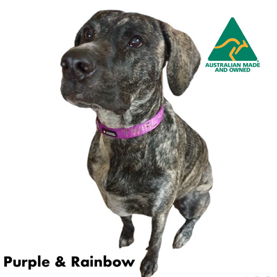 Twirl wearing an Originals Australian Made ID Collar including name and number, Purple with Rainbow embroidery