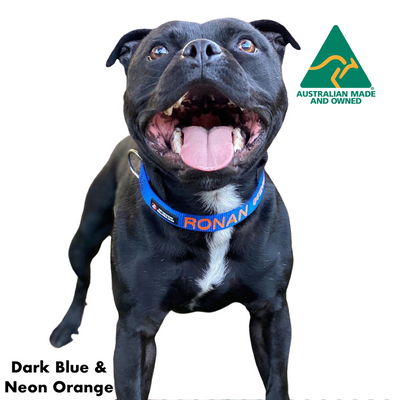 Staffy wearing a Custom Australian Made ID Collar with name and number, dark blue and orange
