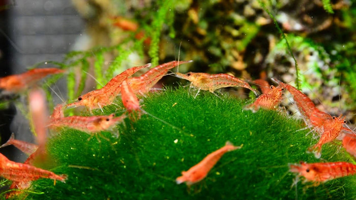 Cherry Shrimp care sheet