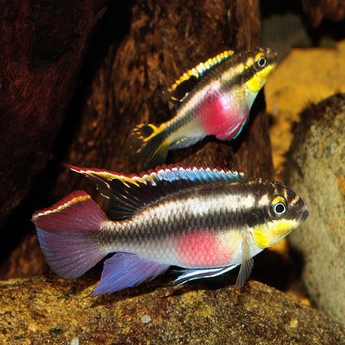 Cichlids African Riverina