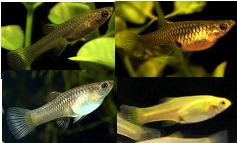 Asstd. Female Endlers M-3