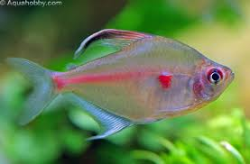 Bleeding Heart Tetra M-3.5