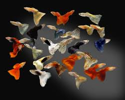 Assorted Guppy (Import) - Male M-4