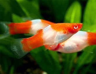 Santa Swordtail (Red & White) M-4.5