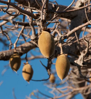 Boab fruit is a highly nutritious superfood with a nut-like shell and a creamy, powdery inside. Also known by their scientific name Adansonia, boab trees can grow up to 98 feet (30 meters) tall and produce a large fruit that is commonly consumed and appreciated for its delicious citrus-like flavor.