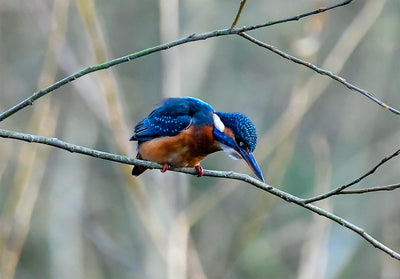 A Poised Kingfisher Limited Edition Print by Rob Hall