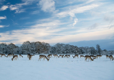 A Winter Deer Herd Limited Edition Print by Rob Hall