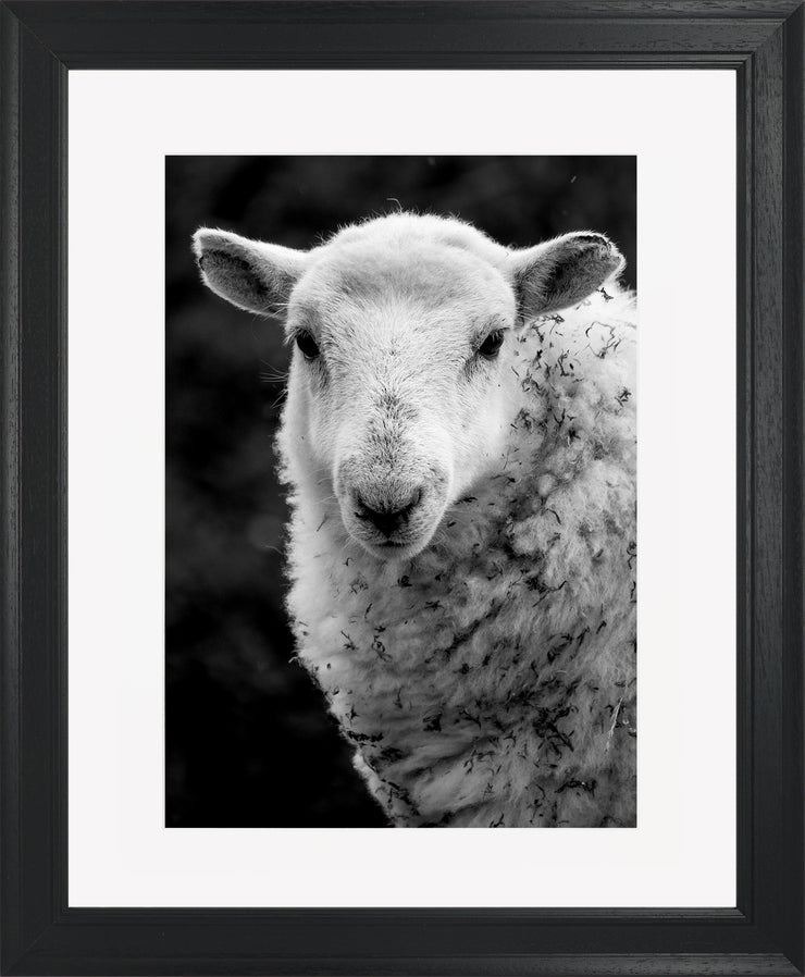 Sheep 1 Limited Edition Print by Neil Murray Black Frame