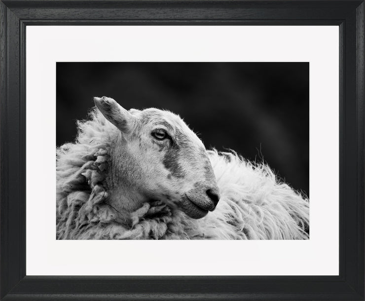Sheep 2 Limited Edition Print by Neil Murray Black Frame