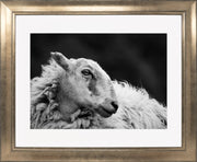 Sheep 2 Limited Edition Print by Neil Murray Bronze Frame
