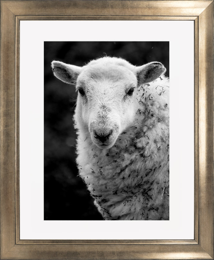 Sheep 1 Limited Edition Print by Neil Murray Bronze Frame