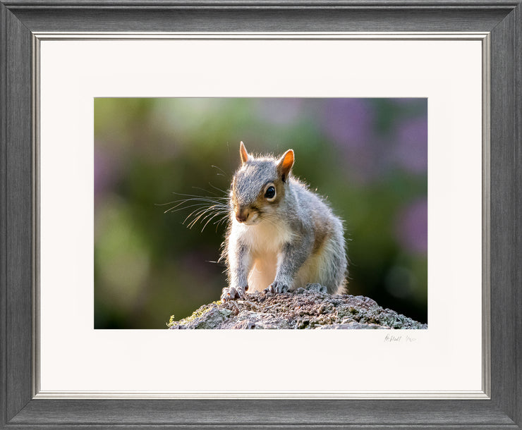 Mr Grey Squirrel Limited Edition Print by Rob Hall Grey and Silver Frame