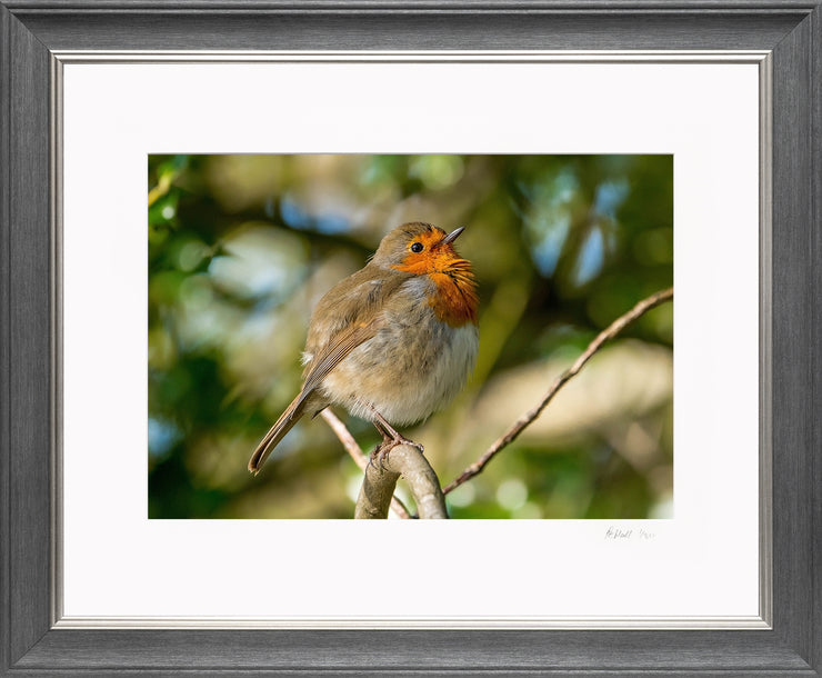 Simply a Robin Limited Edition Print by Rob Hall Grey and Silver Frame