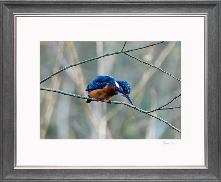 A Poised Kingfisher Limited Edition Print by Rob Hall Grey and Silver Frame