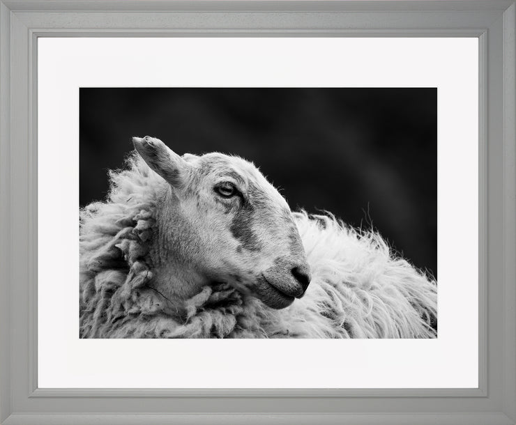 Sheep 2 Limited Edition Print by Neil Murray Grey Frame