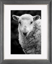Sheep 1 Limited Edition Print by Neil Murray Grey Silver Frame