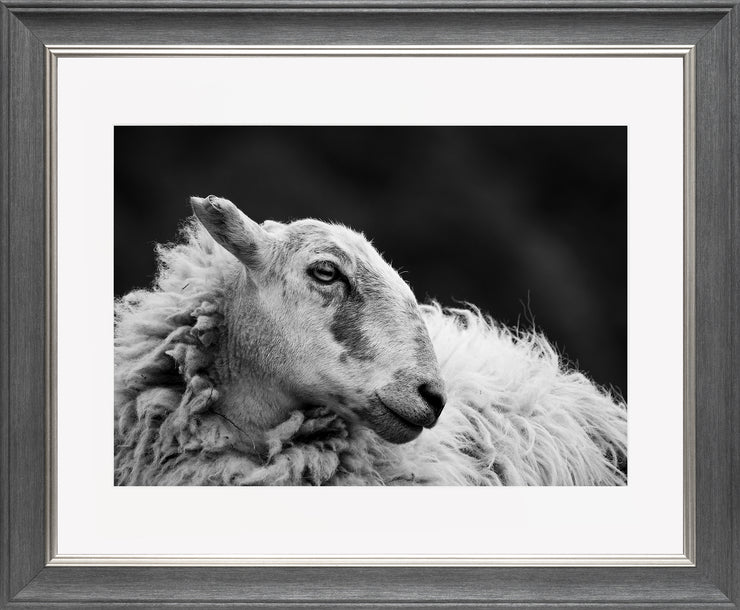 Sheep 2 Limited Edition Print by Neil Murray Grey Silver Frame