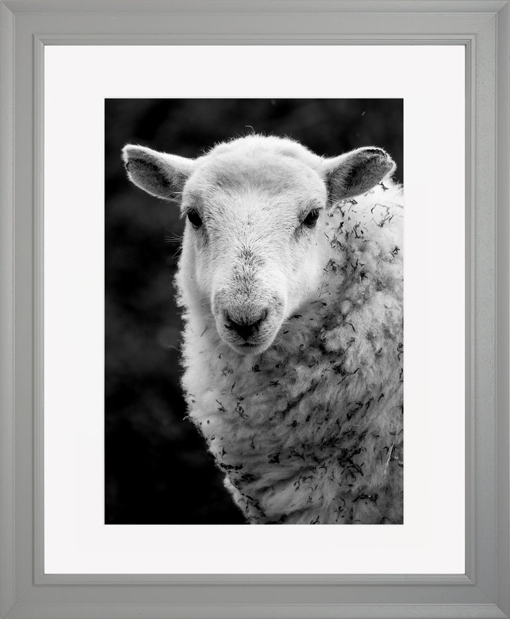 Sheep 1 Limited Edition Print by Neil Murray Grey Frame