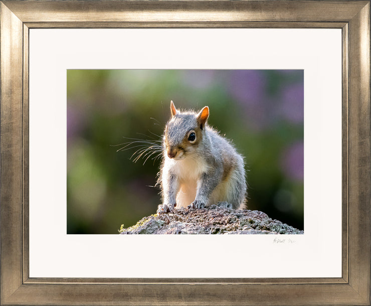 Mr Grey Squirrel Limited Edition Print by Rob Hall Bronze Frame