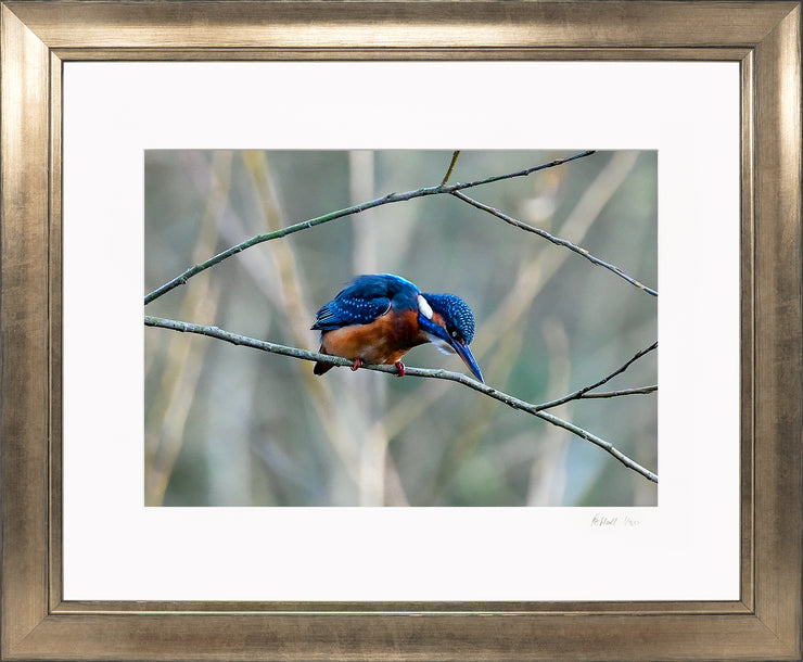 A Poised Kingfisher Limited Edition Print by Rob Hall Bronze Frame